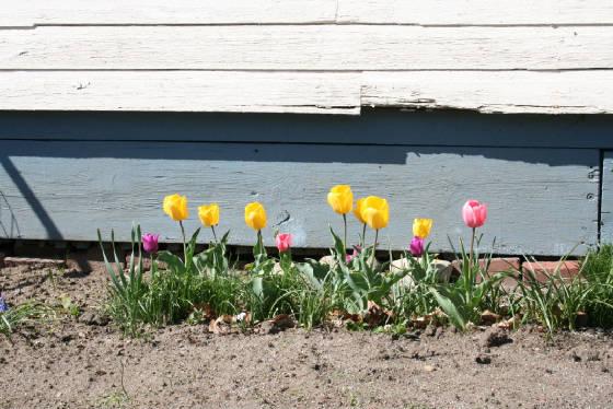 Marylou's tulips, Claremont, New Hampshire (2006)